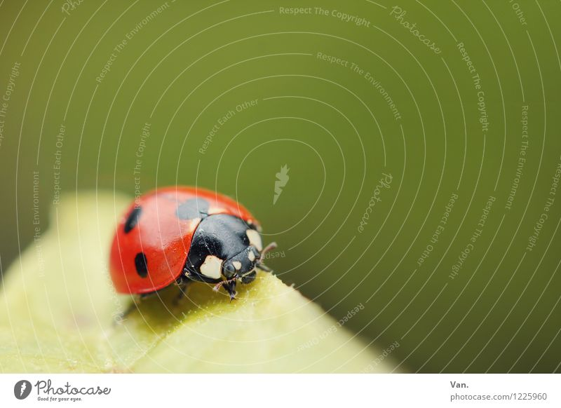lucky charm Nature Animal Spring Leaf Beetle Insect Ladybird 1 Small Green Red Point Colour photo Multicoloured Exterior shot Close-up Deserted Copy Space right
