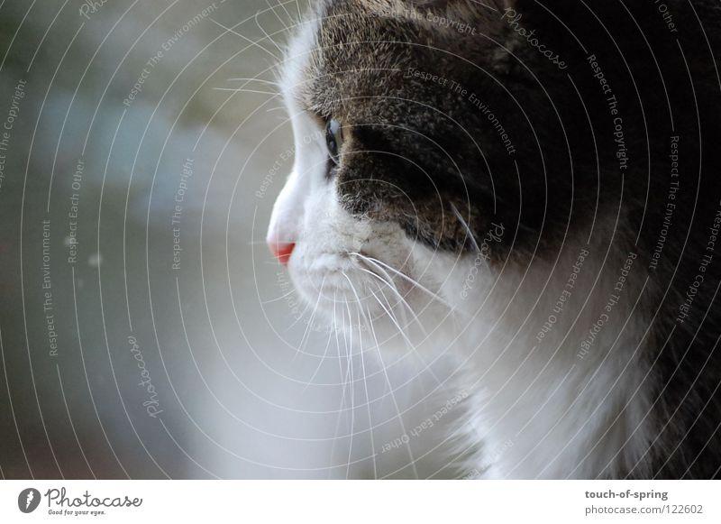 longing Cat Longing Wanderlust Reflection Gray Mammal Domestic cat Cat eyes