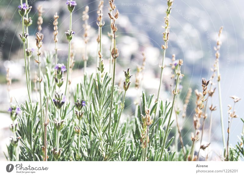 Lavender's Blue Plant Summer Beautiful weather Flower Italy Positano Blossoming Fragrance Healthy Bright Delicious Maritime Green White Authentic Wanderlust