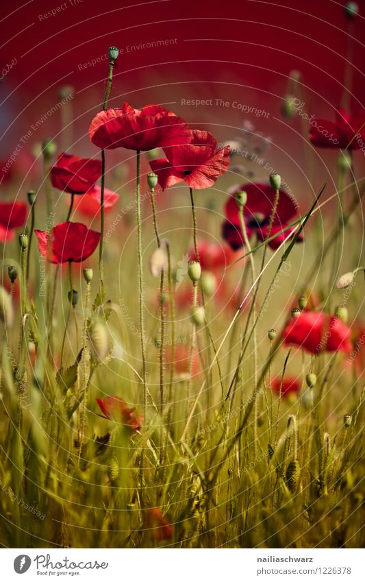 Nature Plant Green Beautiful Summer Flower Red Landscape Environment Blossom Meadow Natural Field Romance Many Poppy