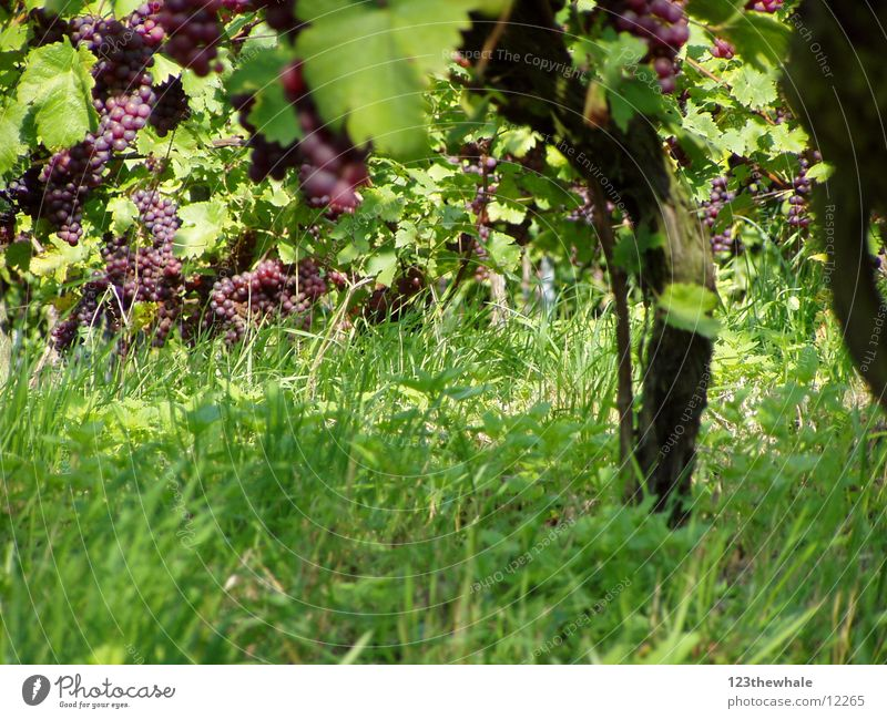 vines Bunch of grapes Red wine Vine