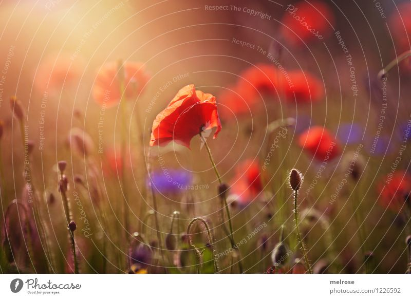 Nature Plant Beautiful Green Relaxation Flower Red Life Blossom Meadow Grass Style Exceptional Moody Design Illuminate