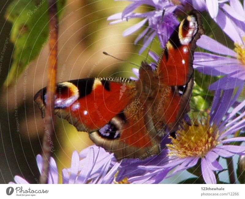 peacock butterfly Butterfly Aster