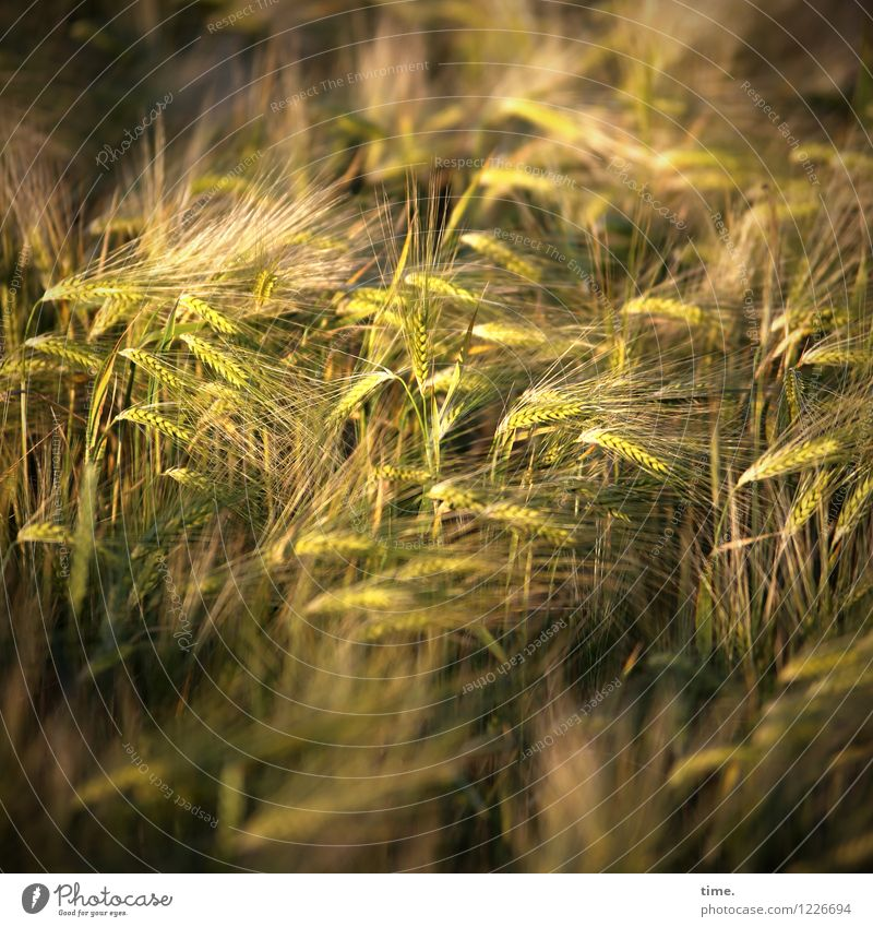 Nature Plant Landscape Calm Environment Life Time Food Field Growth Arrangement Idyll Stand Esthetic Communicate Transience