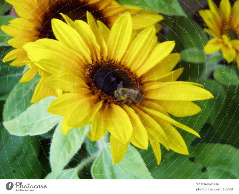 very sunny Sunflower Yellow Green Bee