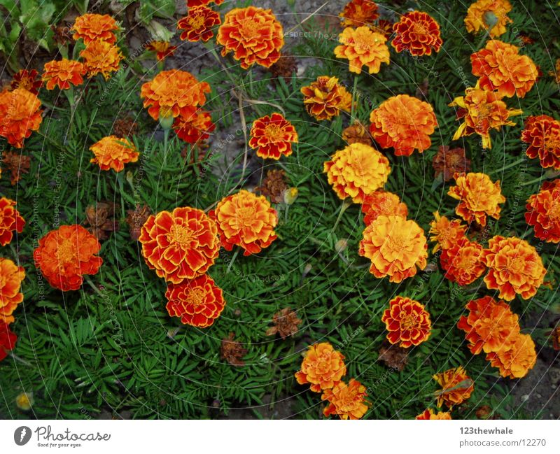 Flower Orange Marigold