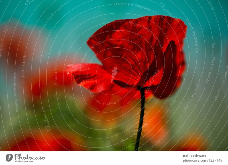 poppy Summer Nature Plant Beautiful weather Meadow Field Blossoming Illuminate Natural Many Red Turquoise Romance Colour Poppy Corn poppy poppy meadow