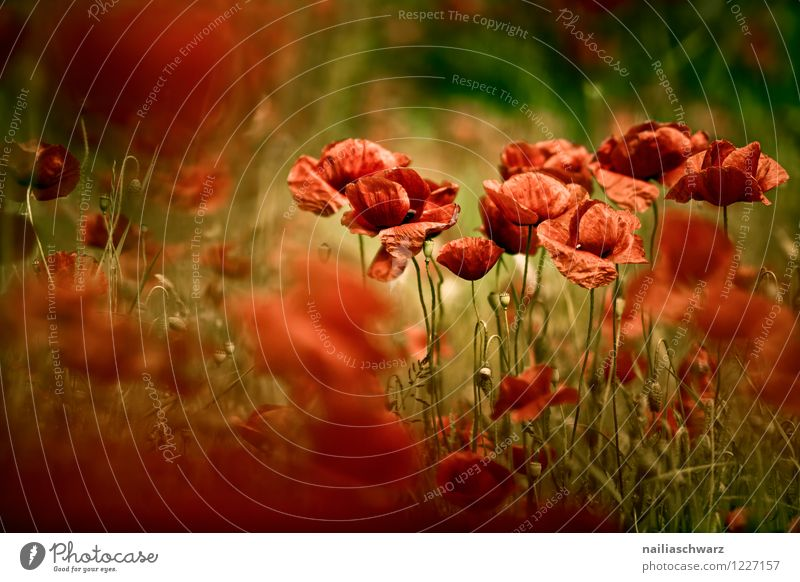 Nature Plant Beautiful Colour Summer Flower Red Landscape Environment Blossom Meadow Field Blossoming Romance Many Poppy
