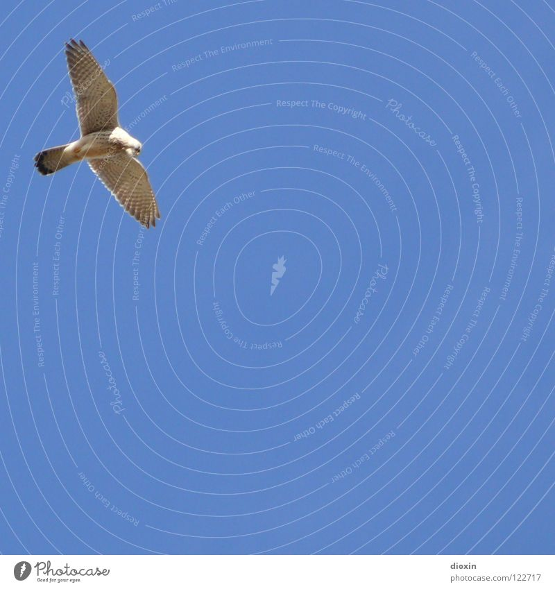 Sky Blue Bird Flying Feather Wing Hunting Beautiful weather Hover Beak Bird of prey Jena Hawk Common buzzard