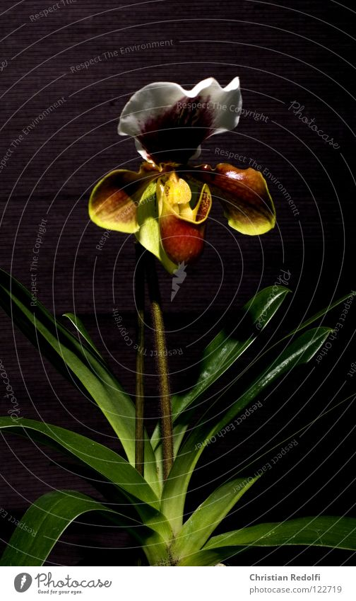 White Plant Black Yellow Blossom Bud Orchid Sepal Lady's slipper