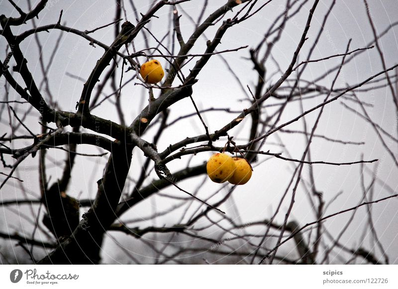 Tree Cold Autumn Gray Sadness Fruit Apple
