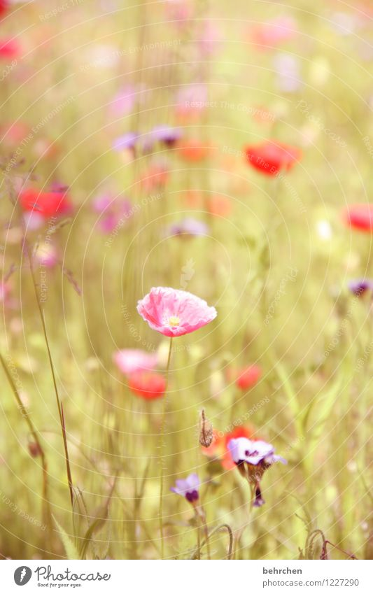 pink mo(h)nday Nature Plant Spring Summer Autumn Beautiful weather Flower Grass Leaf Blossom Wild plant Poppy Garden Park Meadow Field Blossoming Fragrance