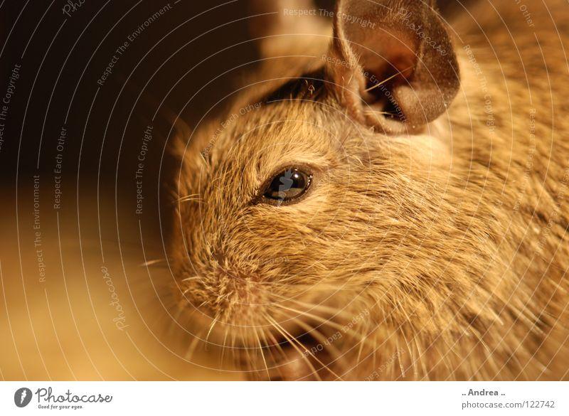 Degu says hello Hair and hairstyles Ear Animal Pelt Pet Mouse Soft Brown Hamster Rat Whisker Mammal degu degus Chinese chinchilla goldhamster teddyhamster