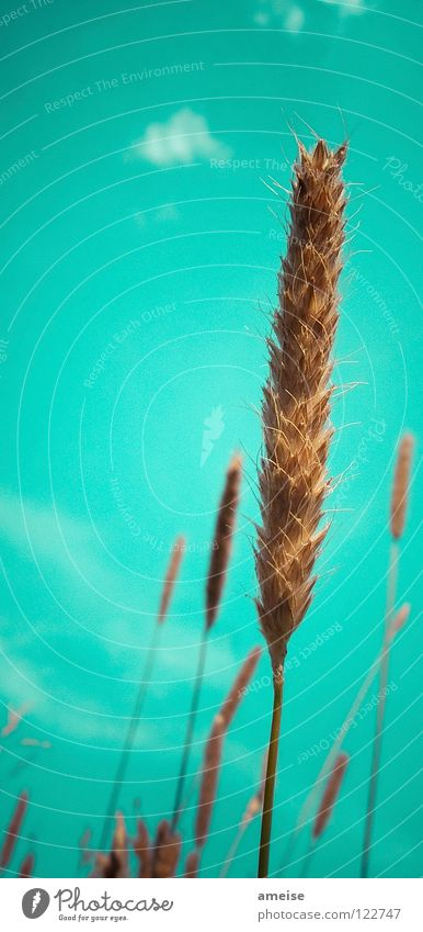 What am I? [ ] Rye, [ ] Wheat, [ ] Barley or [ ] Oats? Clouds Ear of corn Blade of grass Exterior shot Summer Country life Agriculture Healthy Air Sky Grain
