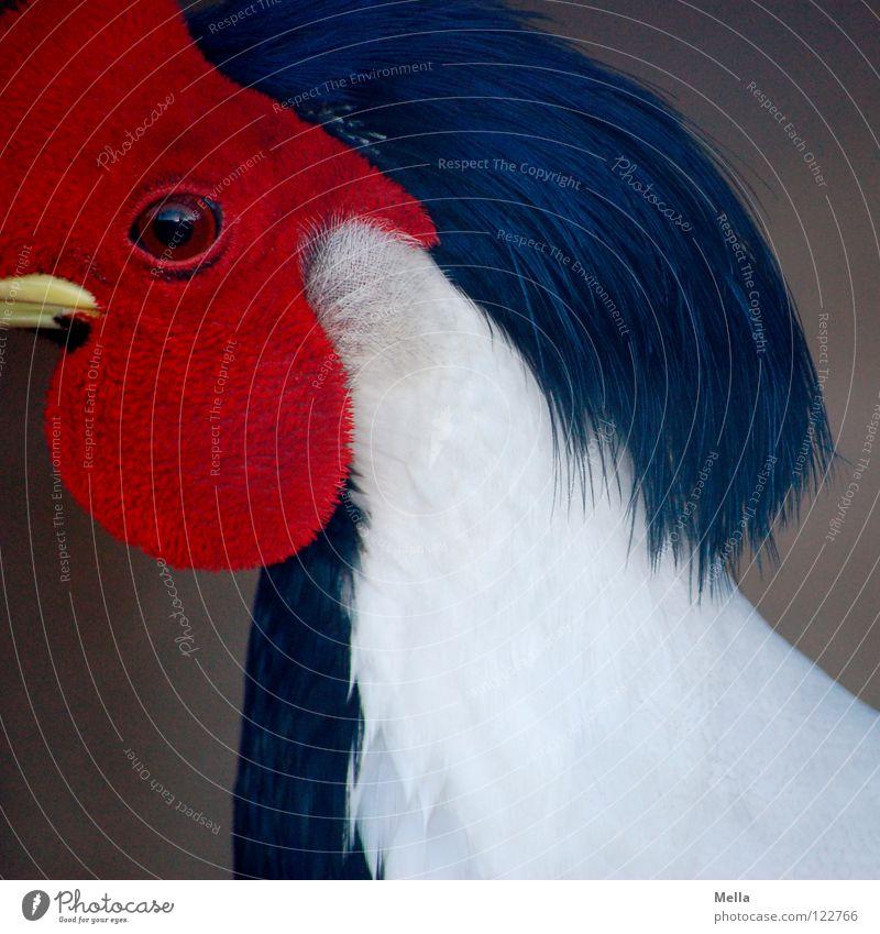 White Red Black Eyes Bird Perspective Feather Mask Snapshot Beak Animal Pheasant