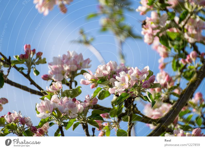 Nature Plant White Leaf Spring Blossom Garden Pink Park Growth Beautiful weather Seasons Spring fever Foliage plant Cherry Wild plant