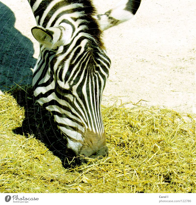 Meal! Zebra Stripe Striped Nostrils Stoop To feed Appetite Yellow Black White Mane Zoo Patient Midday Lunch Dinner Lust Animal Africa Steppe Zebra crossing