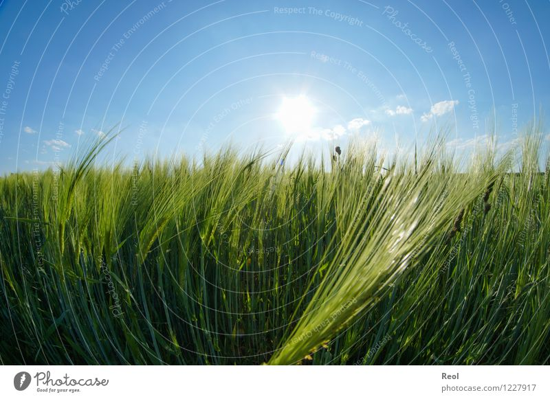 barley field Food Nature Sky Cloudless sky Sunlight Summer Beautiful weather Plant Agricultural crop Barley Cornfield Grain Field Barleyfield Blue Green Growth