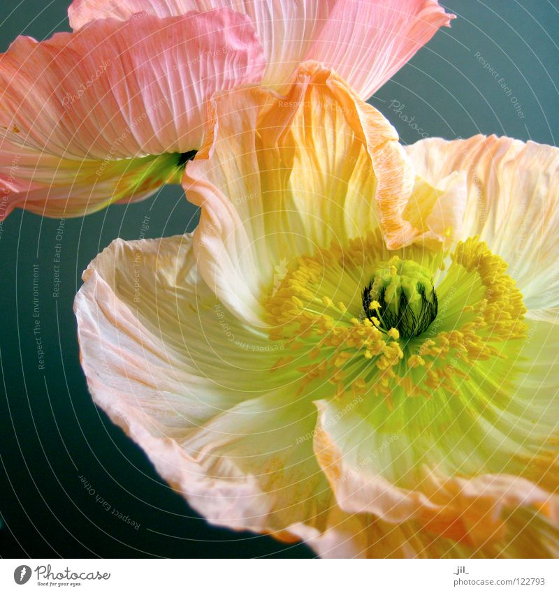 Beautiful White Flower Green Black Yellow Movement Gray 2 Orange Pink Round Open Poppy Easy