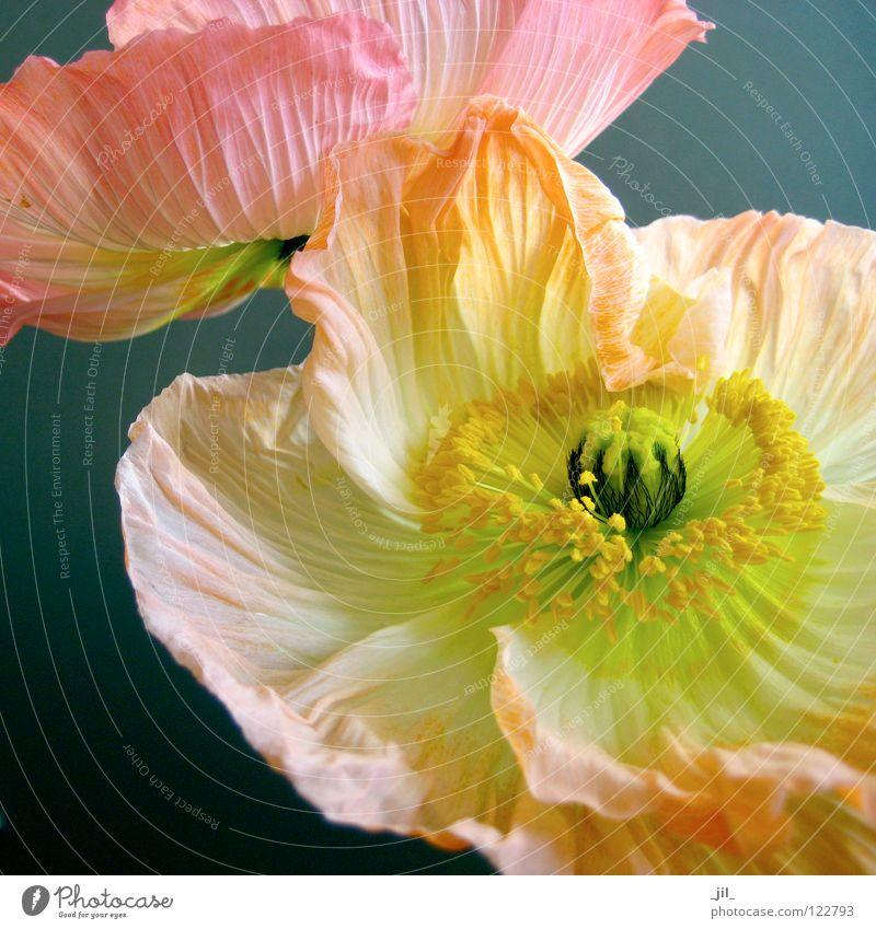 Beautiful White Flower Green Black Yellow Movement Gray 2 Orange Pink Round Open Poppy Easy