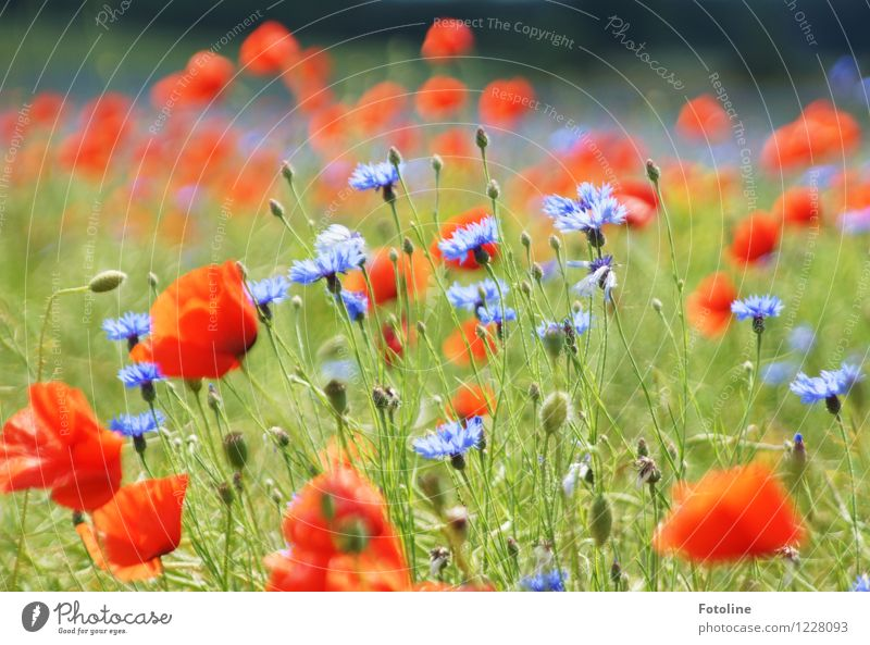 Summer splendour in poppy seeds and corn Environment Nature Plant Beautiful weather Flower Blossom Field Bright Natural Blue Multicoloured Green Red Cornflower