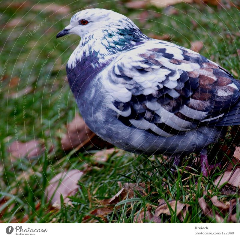 Dove Blue-White Bird Plumed Beak Green Animal Meadow Grass Waddle Air Leaf Blade of grass Feeding Grain Sky Wing Feather Beautiful weather Nature Landscape Lawn