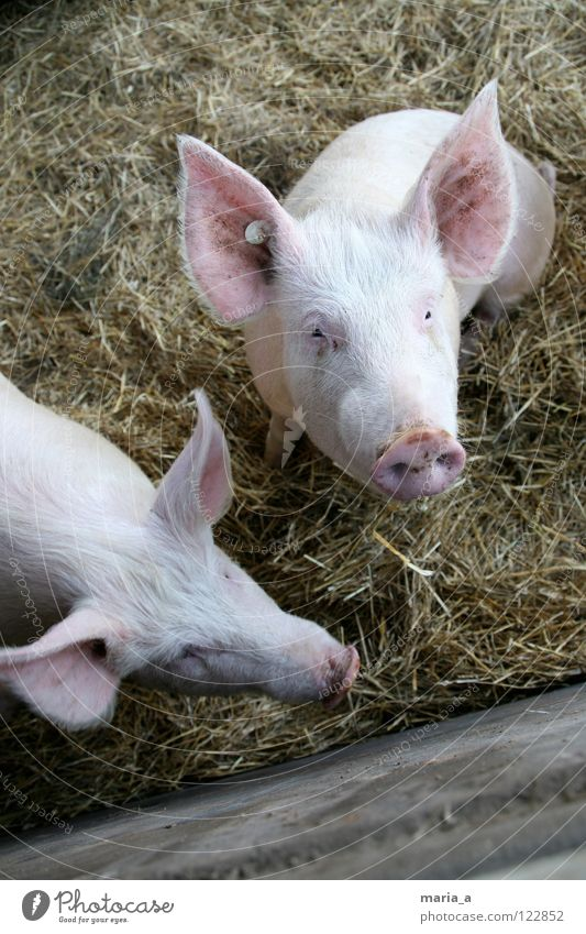 Animal Pink Nose Ear Curiosity Farm Mammal Swine Smart Trunk Piglet Pigs Earpiece
