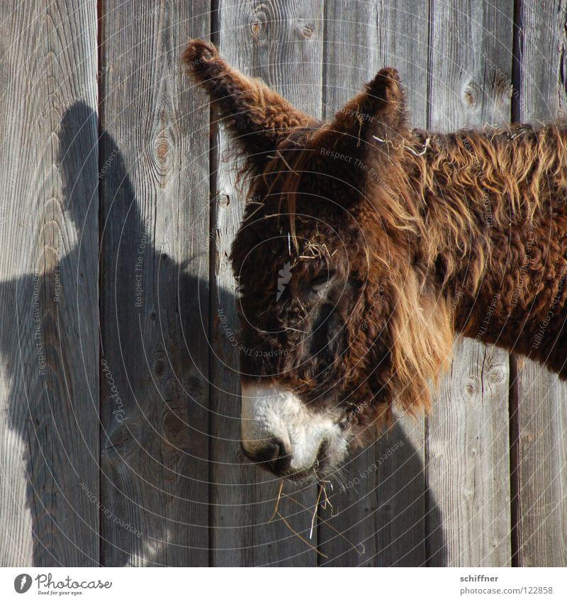 Sweet Ear Cute Pelt Facial hair Fatigue Mammal To feed Donkey Animal Wooden wall Shadow play Oversleep Assistant