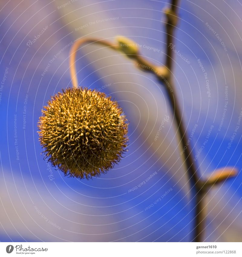 Tree Autumn Fruit Sphere Twig Thorny Tree fruit American Sycamore Spherical Bright background