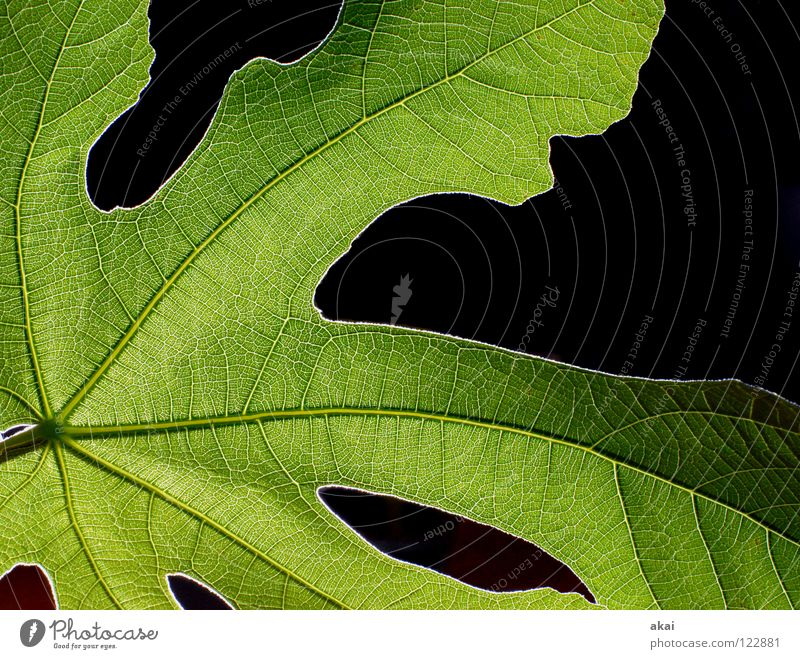 The sheet 28 Plant Fig leaf Green Botany Part of the plant Creeper Verdant Environment Bushes Back-light Warped Leaf Background picture Tree Near Light