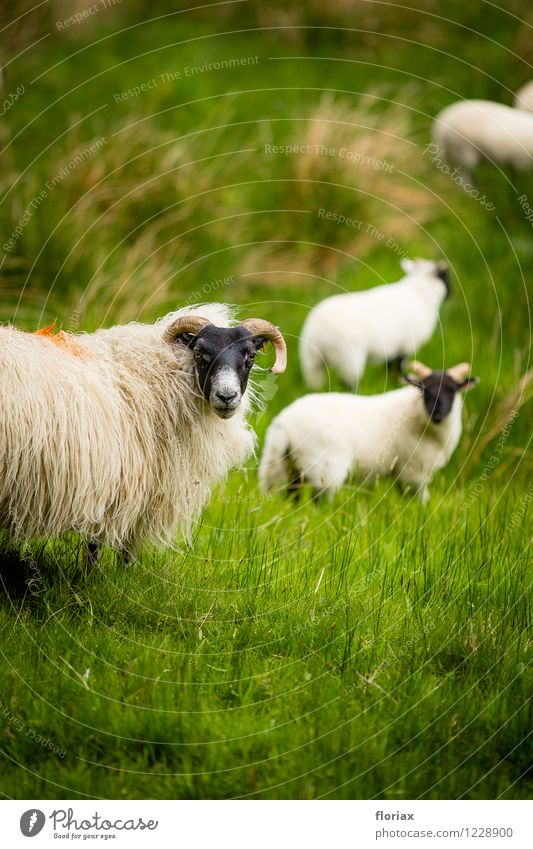 The sheep sees the camera Environment Nature Animal Grass Meadow Scotland Farm animal Group of animals Herd Animal family Observe Green Black White Sheep