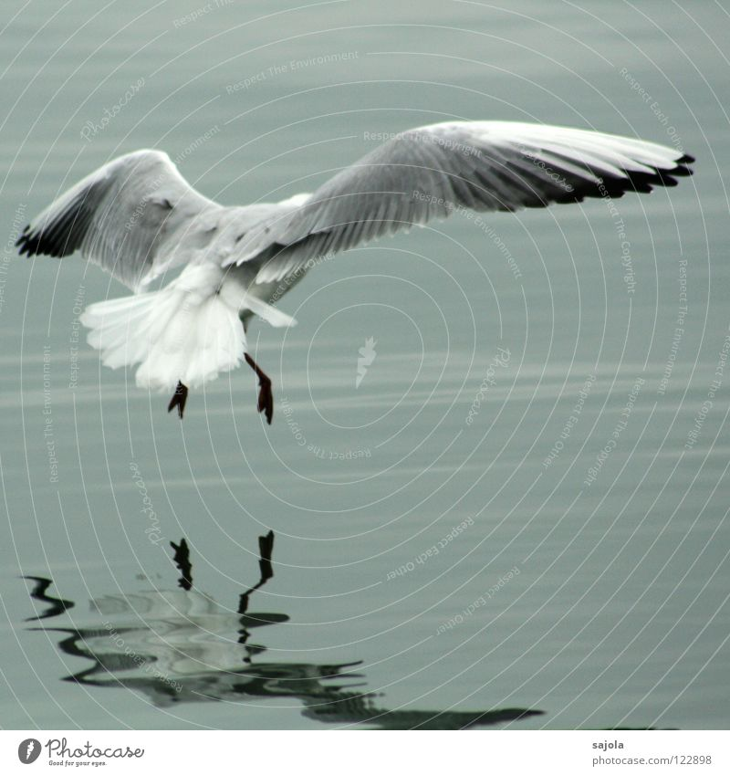 Achtung landing! Animal Water Bird Wing Animal foot 1 Flying Gray Black White Seagull Feather Dreary Tails Lake Colour photo Subdued colour Exterior shot