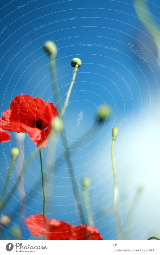 poppy in the wind Sky Nature Blue Plant Beautiful Summer Flower Red Landscape Environment Warmth Spring Feminine Contentment Weather Air