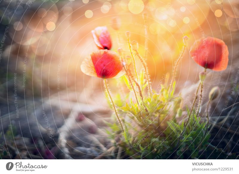 Wild poppies at sunset Design Summer Garden Nature Plant Sunrise Sunset Sunlight Beautiful weather Flower Leaf Blossom Park Meadow Yellow Pink Moody