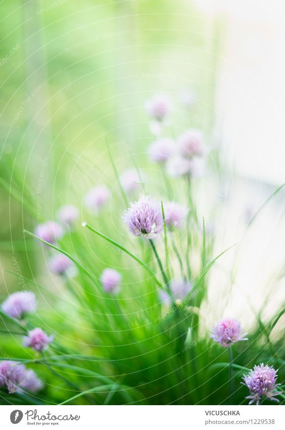 chives Food Herbs and spices Lifestyle Style Design Summer Garden Nature Plant Spring Beautiful weather Flower Leaf Blossom Background picture Herb garden