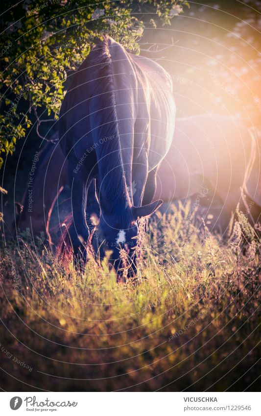 Horses graze in the sunset Lifestyle Design Ride Summer Nature Plant Animal Autumn Beautiful weather Meadow Forest Farm animal 2 Pasture Sunset Light Peaceful