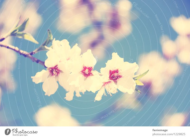 soft cherry blossom Nature Plant Beautiful weather Fragrance Blossoming Cherry Cherry blossom Cherry tree Twig Twigs and branches Light blue Blue sky White