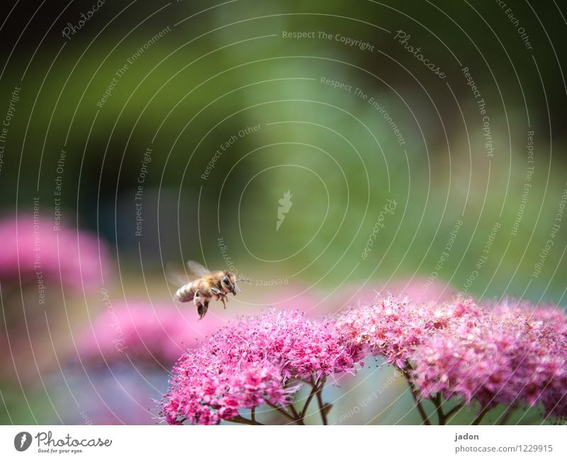 Nature Plant Summer Flower Red Animal Blossom Flying Wing Trip Beautiful weather Fear of flying Bee Collection Landing Aggression