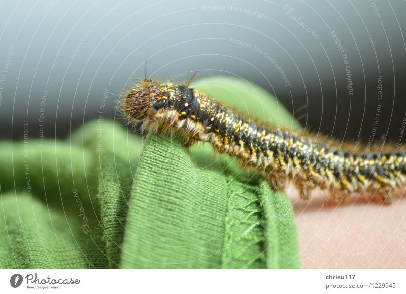 Hairy Crawler Nature Sun Beautiful weather Meadow Animal Wild animal Butterfly 1 Exceptional Exotic Green Caterpillar Colour photo Exterior shot Close-up