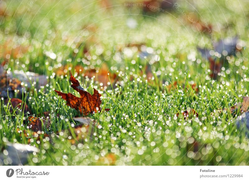 Last fall Environment Nature Plant Elements Water Drops of water Autumn Beautiful weather Grass Leaf Garden Meadow Wet Natural Brown Green Autumn leaves