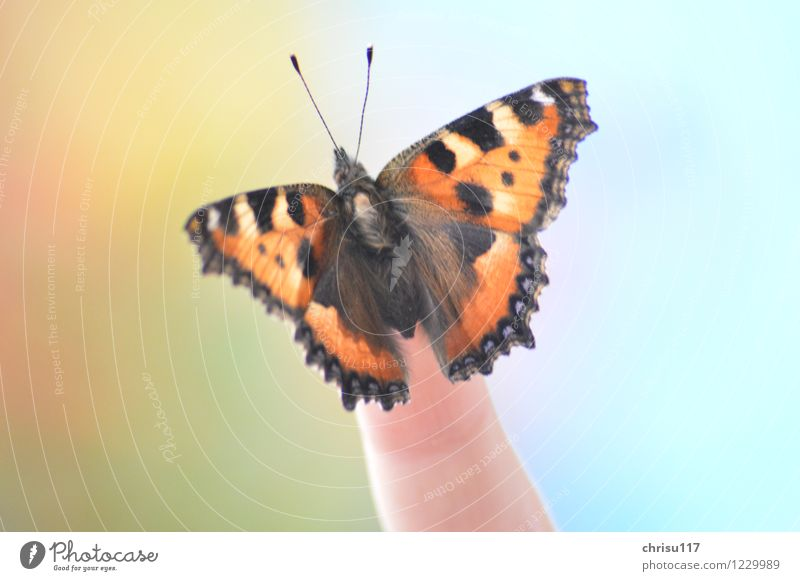 Little fox on finger Nature Sun Spring Beautiful weather Animal Wild animal Butterfly 1 Sit Esthetic Glittering Small tortoiseshell Colour photo Exterior shot