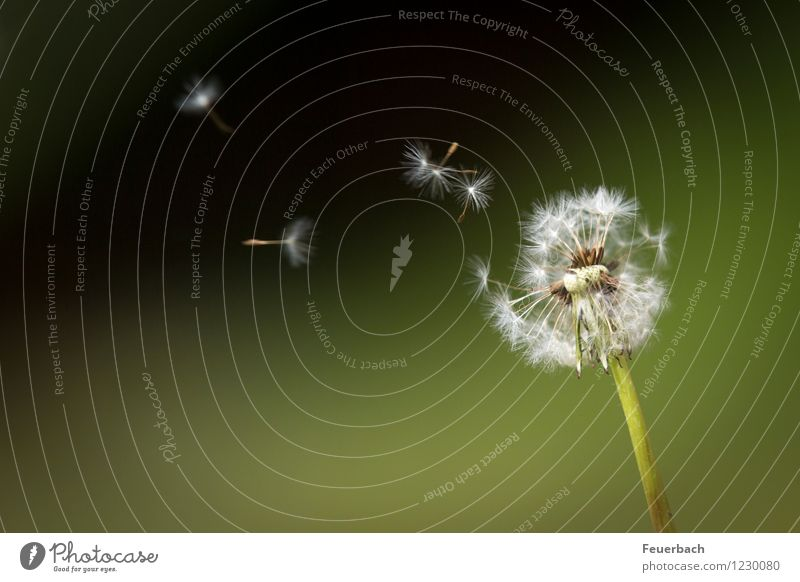 dandelion in the wind Nature Plant Spring Summer Wind Flower Wild plant Dandelion Meadow Flying Dance Friendliness Happiness Happy Infinity Soft Contentment