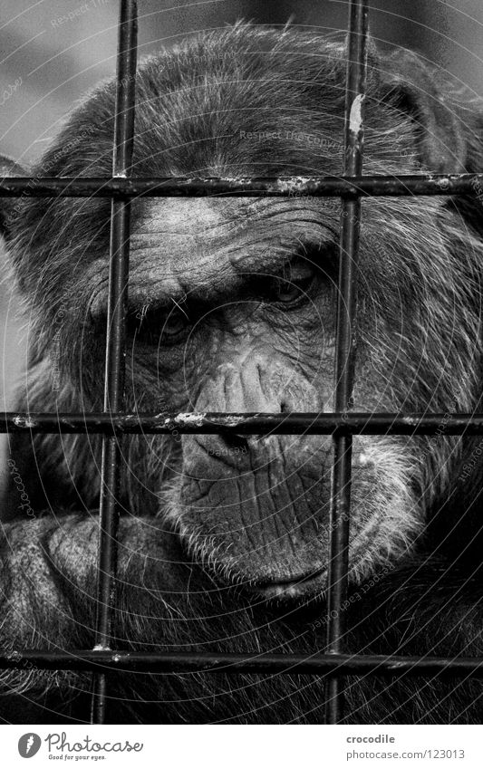 Chimpanzees need freedom l Zoo Apes Captured Grief Grating Jail sentence Forehead Pelt Distress Black & white photo Mammal Trip prison Sadness sad Looking