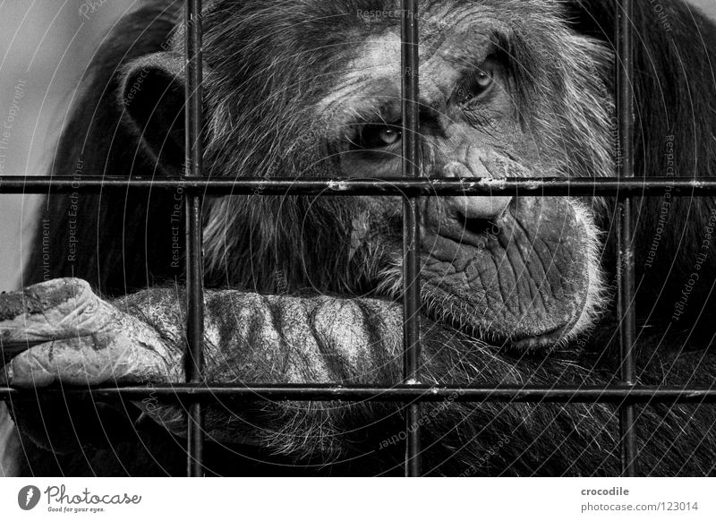 Chimpanzees need freedom ll Zoo Apes Captured Grief Grating Jail sentence Forehead Pelt Distress Black & white photo Animal Trip prison Sadness sad Looking