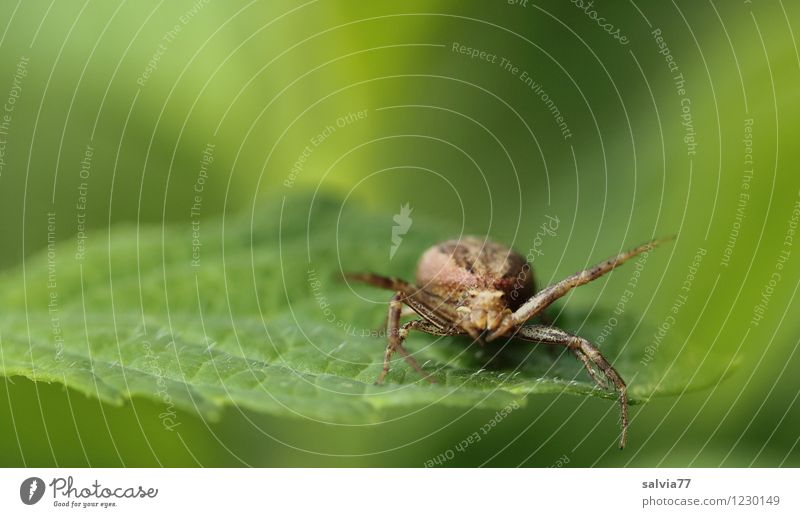 Within reach Nature Plant Animal Summer Leaf Foliage plant Wild animal Spider 1 Observe To feed Hunting Sit Wait Aggression Threat Disgust Small Astute Speed