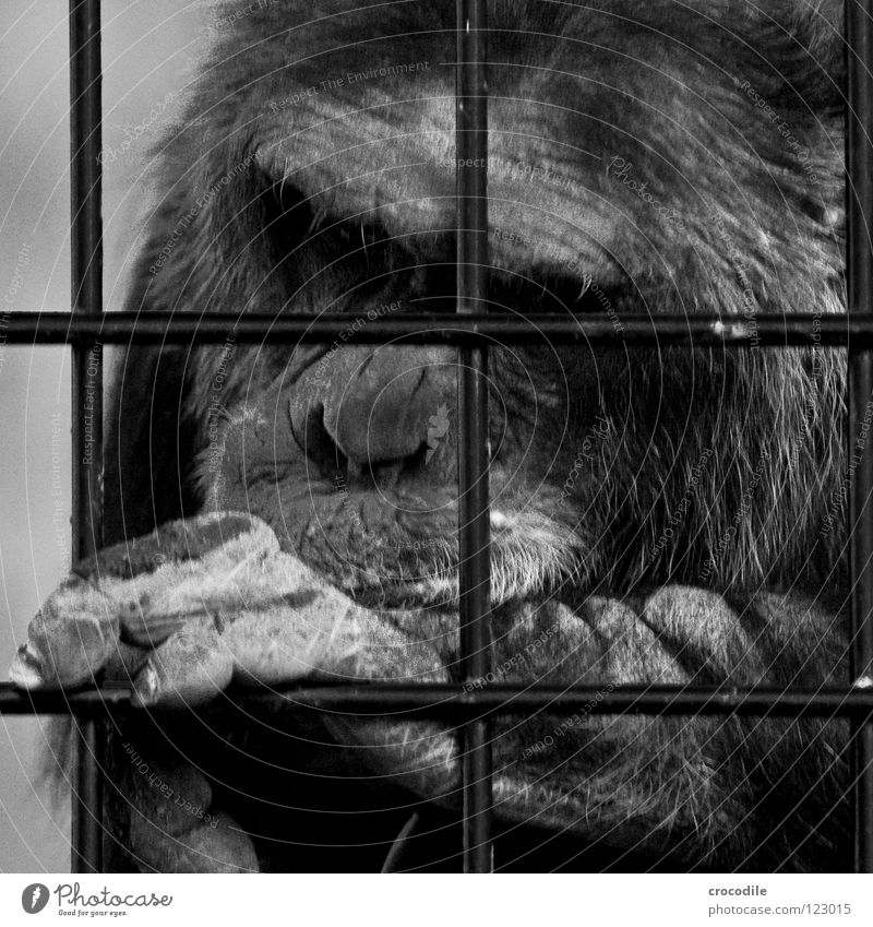 Chimpanzees need freedom lll Zoo Apes Captured Grief Grating Jail sentence Forehead Pelt Distress Black & white photo Animal Trip prison Sadness sad Looking