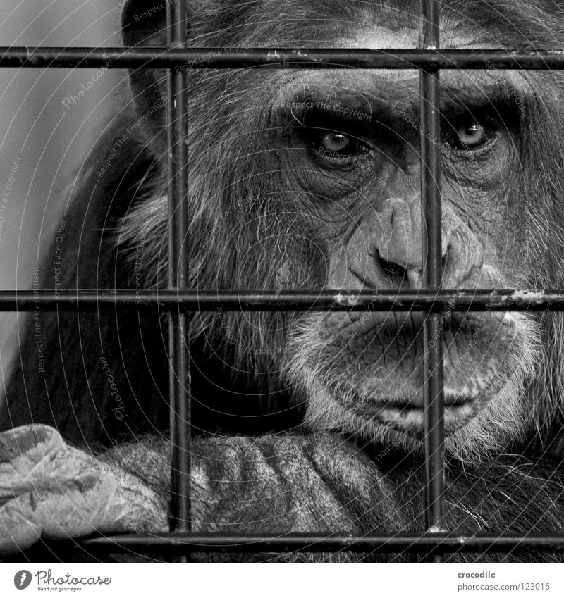 Chimpanzees need freedom lV Zoo Apes Captured Grief Grating Jail sentence Forehead Pelt Black & white photo Distress Animal Trip prison Sadness sad Looking