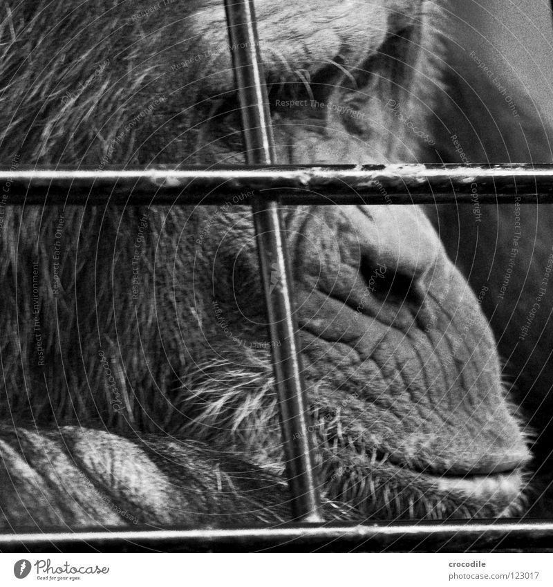 Chimpanzees need freedom V Zoo Apes Captured Grief Grating Jail sentence Forehead Pelt Distress Black & white photo Animal Trip prison Sadness sad Looking