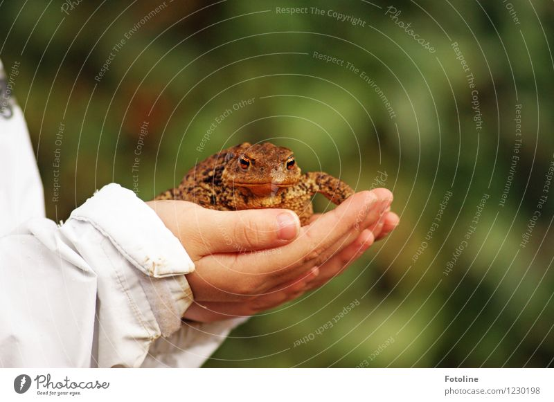 Saved! Human being Child Hand Fingers Environment Nature Animal Wild animal Frog Animal face 1 Fat Near Natural Brown Painted frog Rescue To hold on Protective