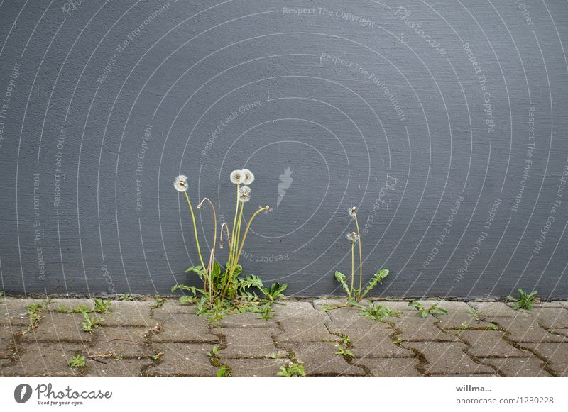 Blowballs grow out of the grey wall of a house between paving slabs Flower Wild plant Dandelion Wall (barrier) Wall (building) Gray Survive Daisy Family